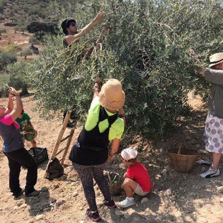 Cicerones-rurales-agroturismo-en-malaga-alozaina-olive-tour-recoleccion-aceitunas
