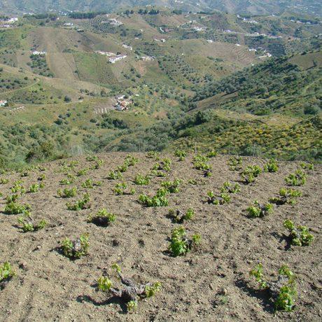 Cicerones-rurales-agroturismo-en-malaga-enoturismo-ruta-de-la-pasa-Moclinejo-fincas-parras